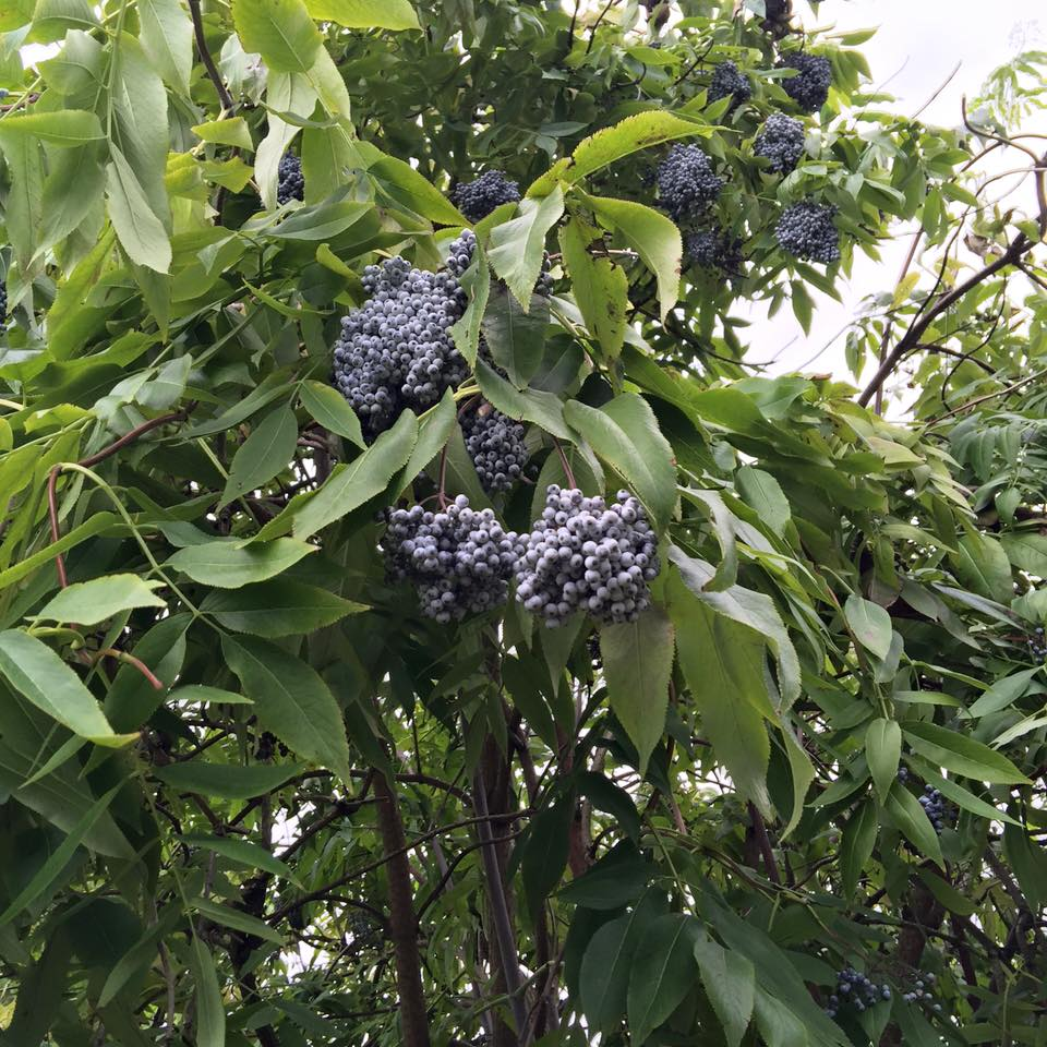 The Truth About Elderberries