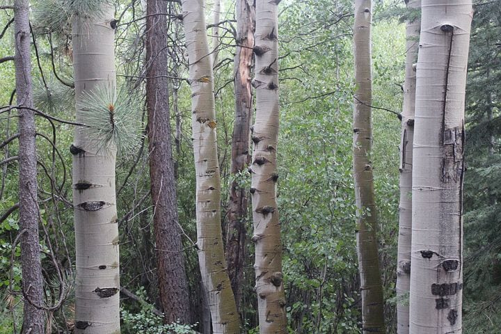 The Magic and Medicine of the Birch Tree