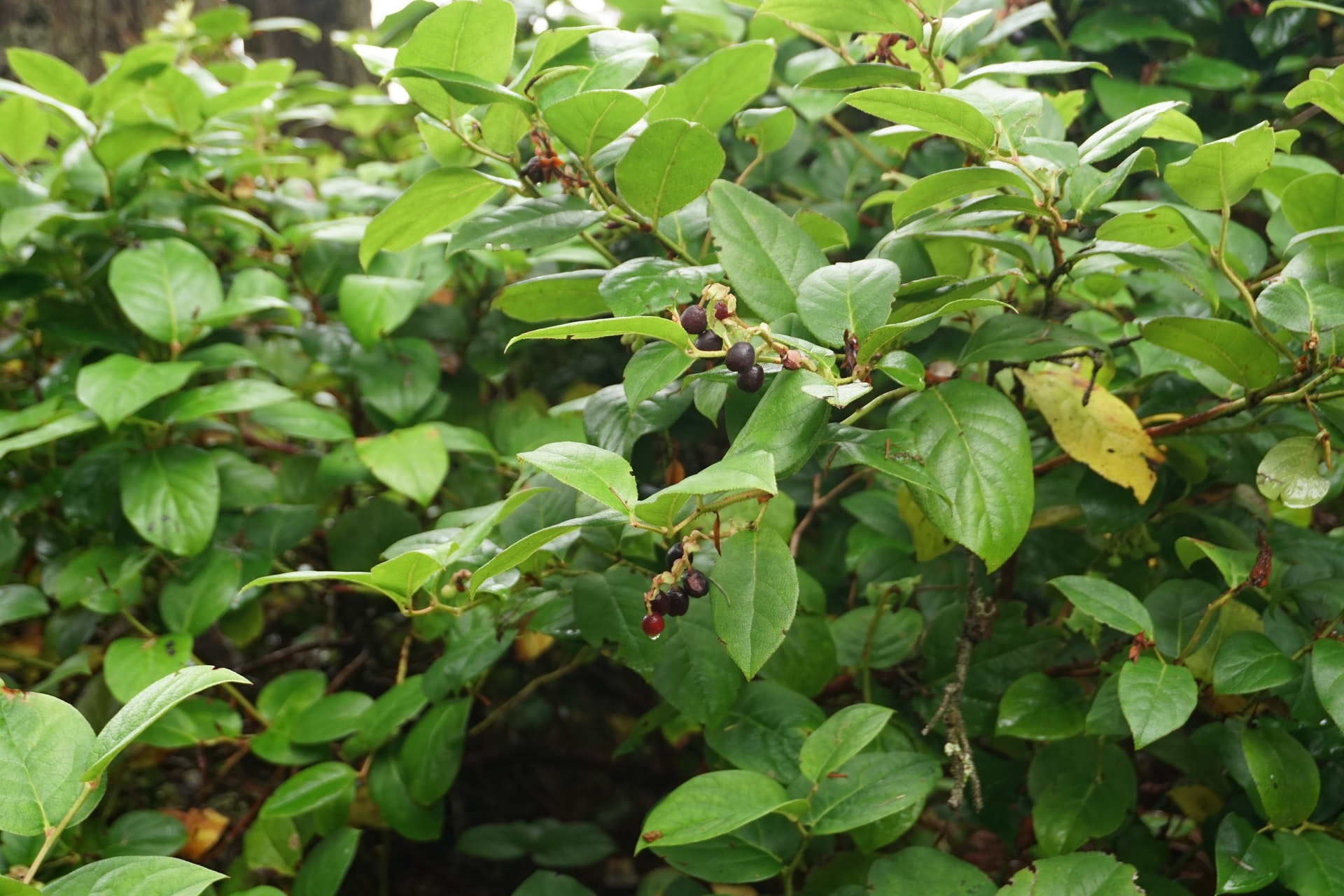 Intro to Salal (Gaultheria shallon)