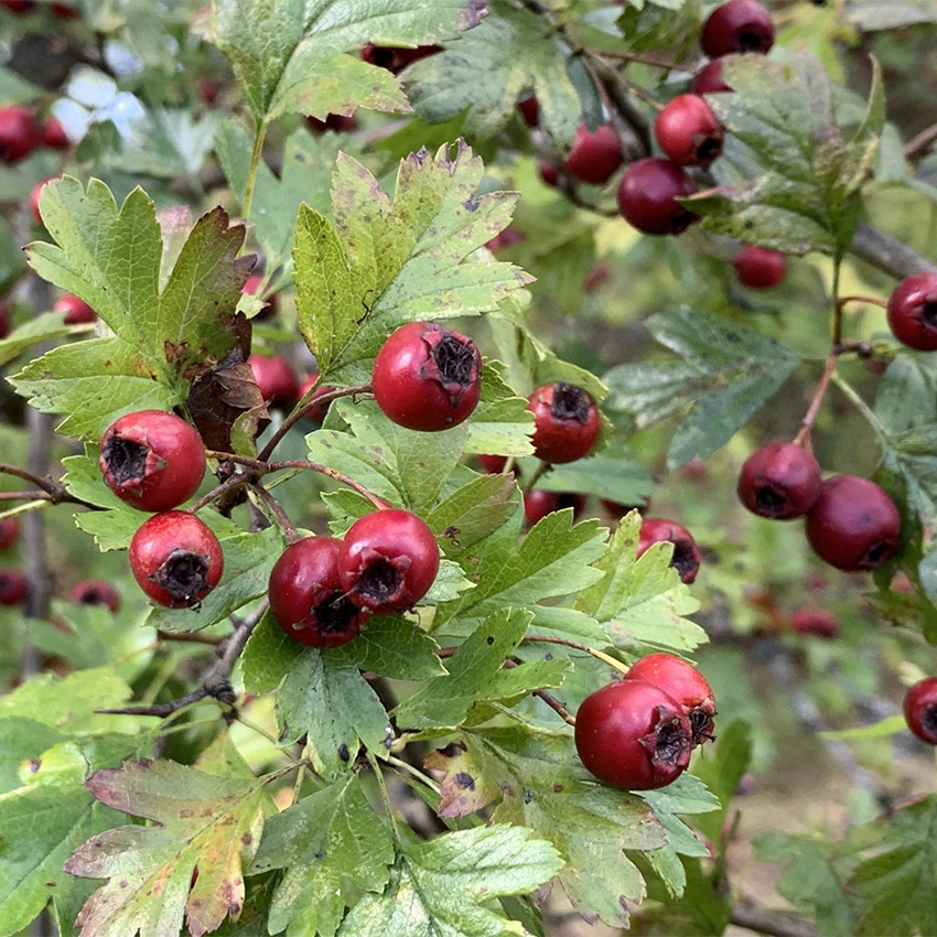 hawthorn berry uses and remedies